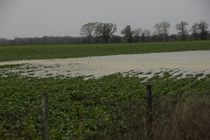 Here's a canola field with flooding.