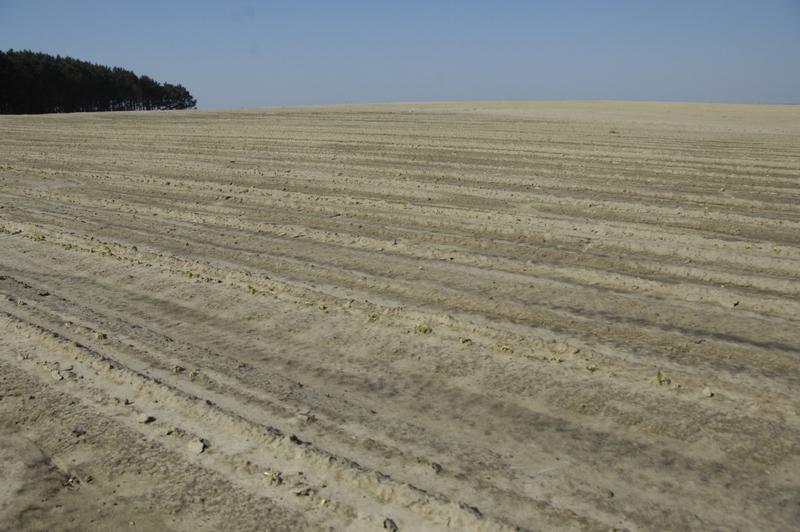 Snapbean field.