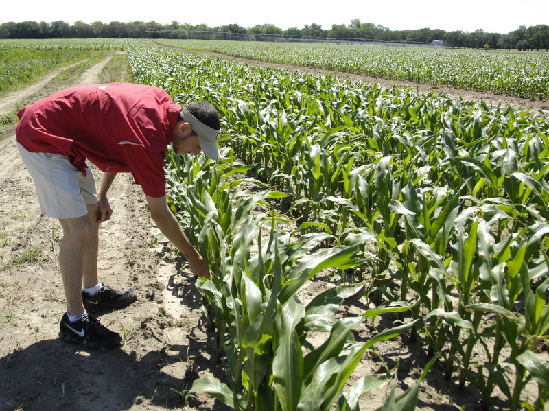 "Here's Caleb, Dr. Kemeraits man who is checking corn for disease in a rust resistant and a non resistant hybrid for the US ""Southern Corn Rust IPM-pipe"" sentinel plot monitoring program (scr.ipmpipe.org)."