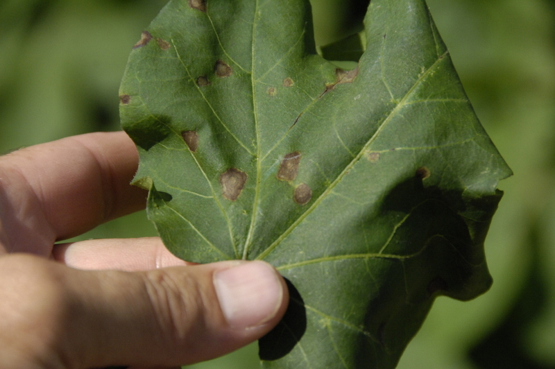 Target spot is pretty common. Many folks have applied fungicides to protect cotton from it.