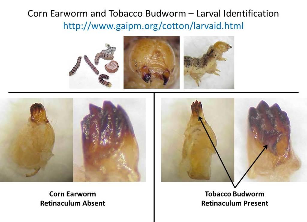 larval id