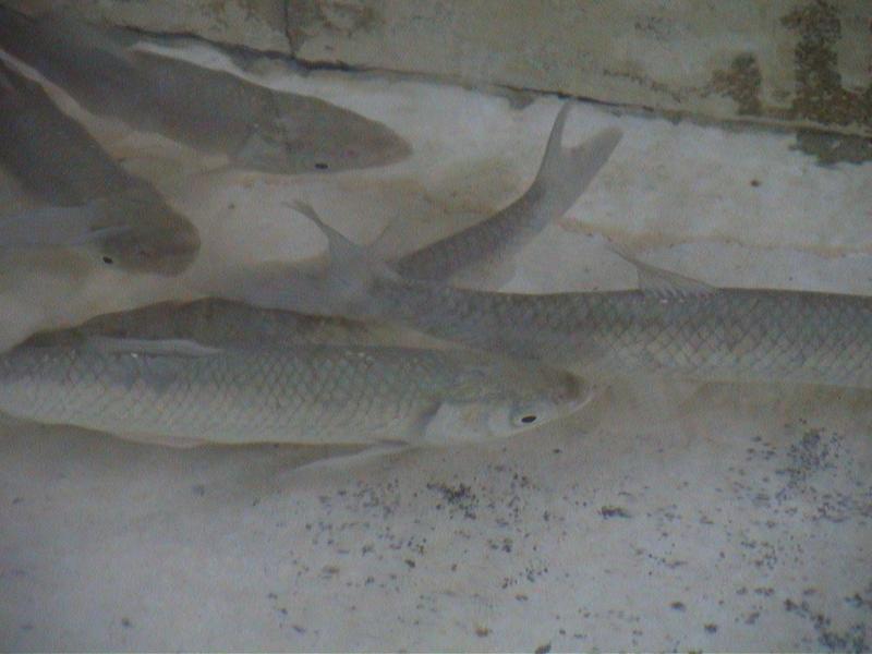 Grass carp in tank 1