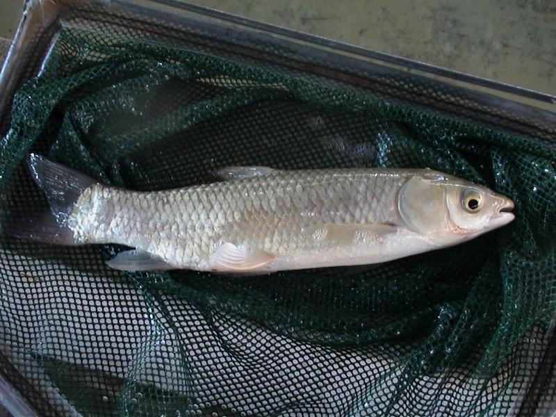 One pound grass carp 1