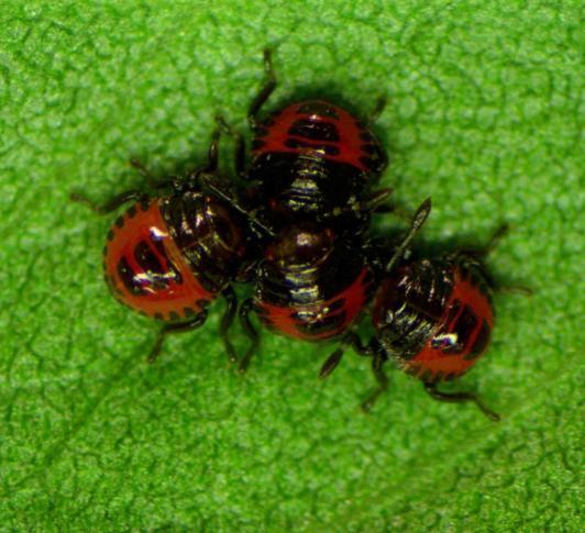 stink bugs