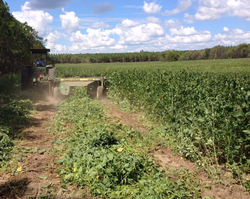 UF Releases New Soybean With Extended Growing Season | IFAS News