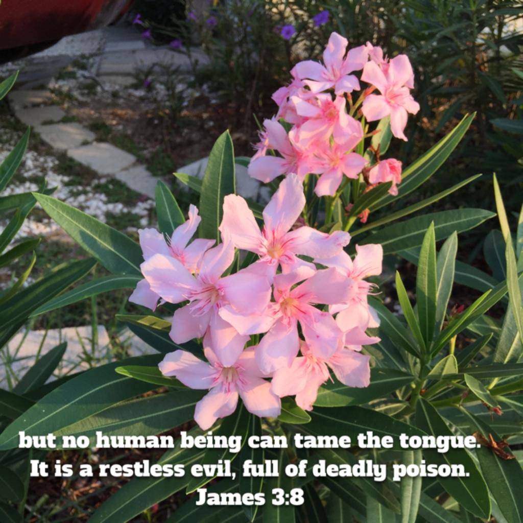 Beautiful But Poisonous Oleander Seminole Crop E News